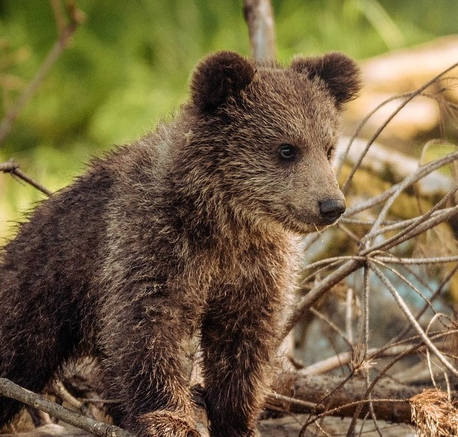 Bear cub looking cute, as profile picture