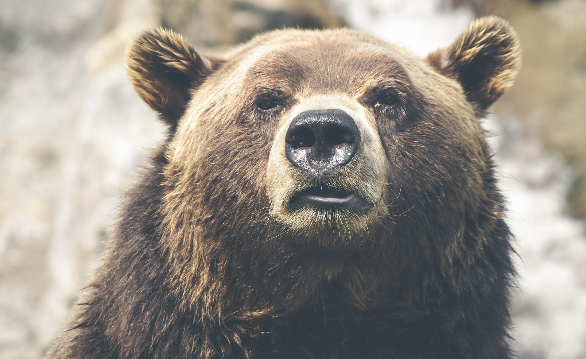 Adult bear looking chill, as profile picture