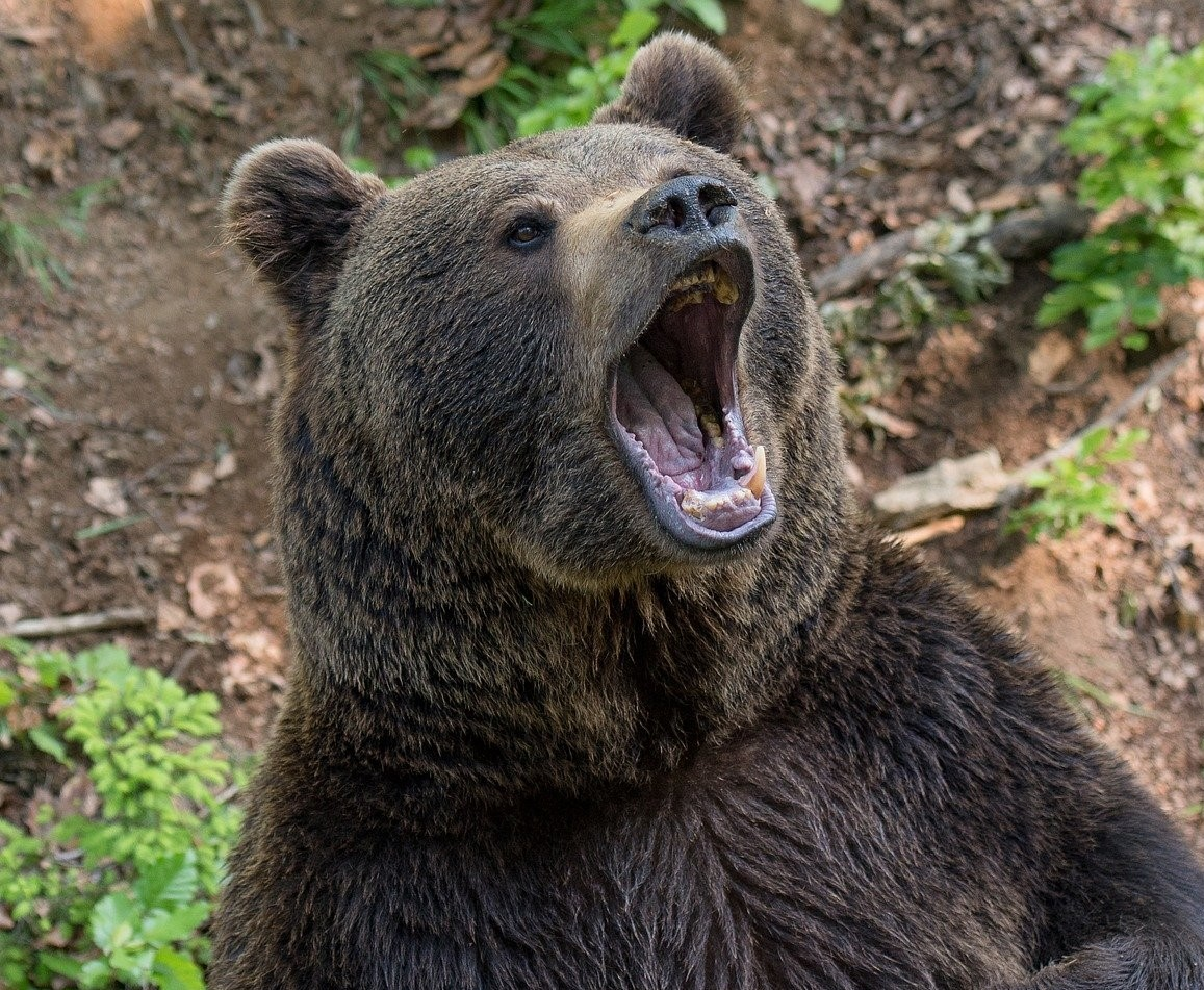 Adult bear looking fierce, as profile picture